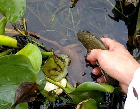 巨物的心白条的命,鲤鱼放流垃圾带走