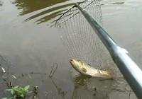 谷麥釣法魚竿、浮漂、鉤鉤的選擇及打窩技巧