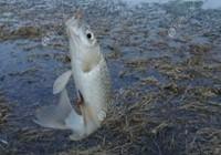 早春如何作釣大板鯽