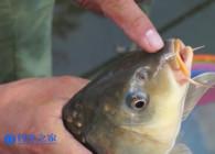 《钓鱼百科》第284集 鱼钩中鱼后都是下唇怎么调整?