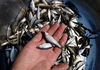 掌握这些技巧,即使钓白条鱼也可以爆护!