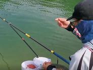 《麦子钓鱼》坚守太平湖,终于发窝,红珠、鲤鱼连竿