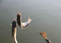 鱼最爱吃的几种天然饵料