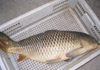 夏季钓鲤鱼技巧