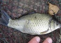 學會逗釣教你輕松應對鯽魚無口!