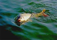 水库钓鲤鱼想爆护? 你要做好这三点!