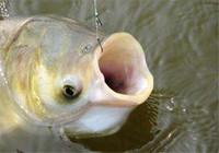 立夏钓鲢鳙就用这方法 连着遛大鱼的感觉最是爽