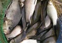 立夏后 這釣法對付鯽魚手到擒來~
