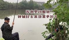 《户外老曹》 实战!老曹在浑水里钓鳊鱼,蝉蛹比玉米效果更好?