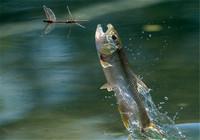 老釣友手把手傳授給你4款釣馬口魚專用釣餌!