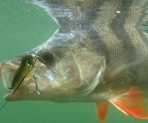 钓鲈鱼用这套技巧堪称绝妙 鲈鱼一次遛到过瘾