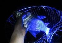 初夏夜钓鲫鱼的几个绝招你学会了吗?
