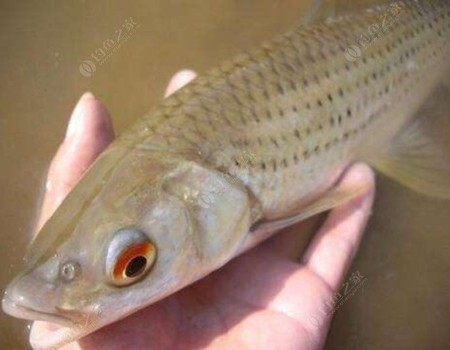 河釣土鯪之梅州釣法個人愚見