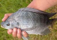 老钓友分享路亚罗非鱼的技巧与经验!