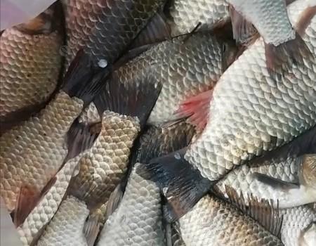菜花黃,釣魚忙,丹江大板鯽