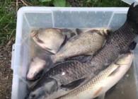 《麦子钓鱼》鲜玉米钓法的威力狂拔青鱼 草鱼 鳊鱼 爆一箱