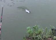 《麦子钓鱼》用玉米这样钓鱼 青鱼 鳊鱼能连杆