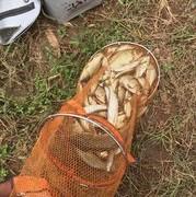 秋季野釣爆護季,分享一款酒米配方。