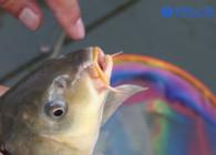 《釣魚百科》第159集 什么是黑坑飛魚、飛磕?