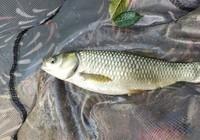 用果香味饵料垂钓草鱼的十二条建议