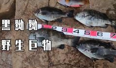 《全球釣魚集錦》澳洲釣大黑毛,桿桿中野生巨物 !