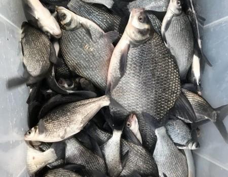 寒冬季节鳊鱼狂口爆箱一百多斤