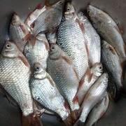 專釣土鯪豆豉鯪魚簡單易學