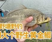 《白条游钓》农村野塘野钓,遇到大个黄金鲫!