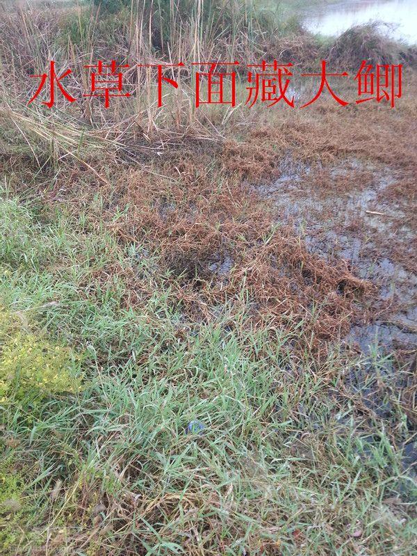 酒米蚯蚓草洞垂钓大鲫鱼的最佳组合