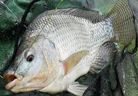 垂钓太平湖对战三种对象鱼三角鲫鱼、罗非鱼、鲤鱼