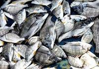 冬季海钓马鞭洲连连上钩满鱼护