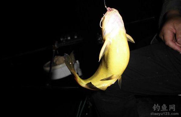 蚯蚓钓黄颡鱼