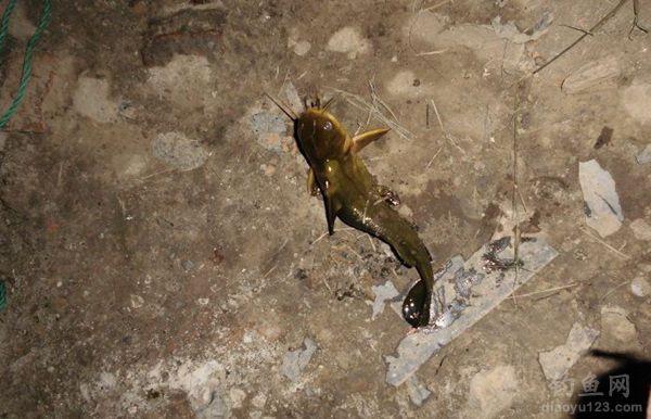 黄颡鱼被钓上岸