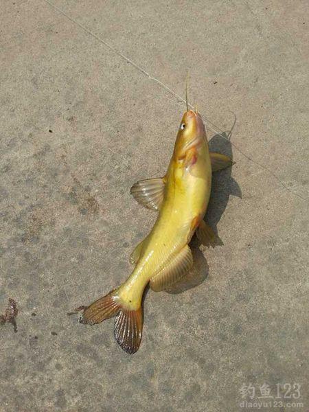黄颡鱼连竿