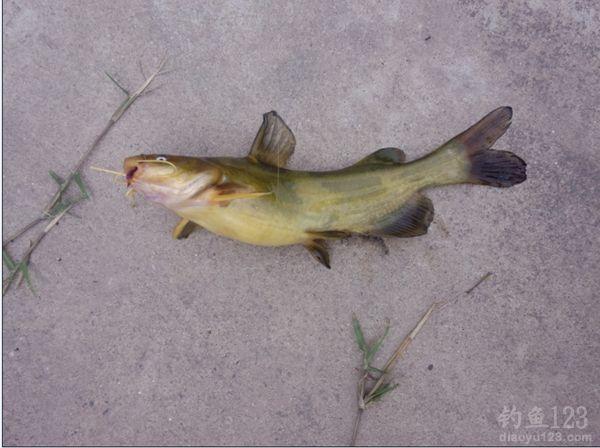 串钩钓黄颡鱼