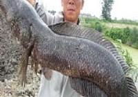 野河路亚18斤重大黑鱼
