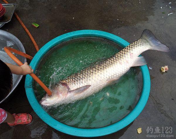 超级大草鱼