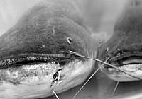 夏季手竿夜钓鲶鱼的技巧