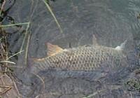 夏季野河夜钓20斤大鲤鱼