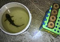 夏季筏竿挂蚯蚓夜钓黄颡鱼