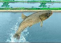 八米半长竿擒获13斤大草鱼