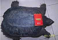 嘉定城河钓获20斤重北美鳄龟