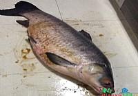 收費魚塘釣獲68斤大青魚