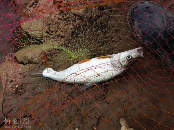 钓获红梢鱼