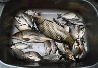 秋季用蘸饵爽钓野生鲫鱼鲤鱼