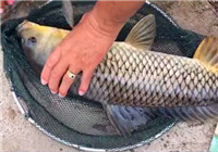 《垂钓对象鱼视频》 男子长竿细线黑坑钓鲤鱼