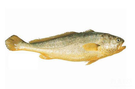 巨型黄瓜鱼黄花鱼