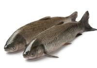 钓草鱼的饵料分享