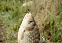 春天对鲫鱼环境的解析