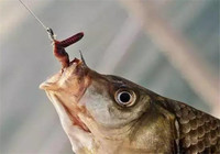 蚯蚓作钓还没鱼,你该这样解决!